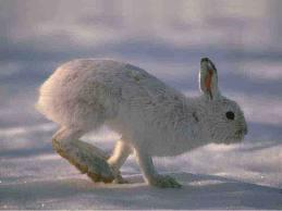 lievre-variable-hiver-1.jpg