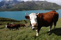 vaches-abondance1.jpg